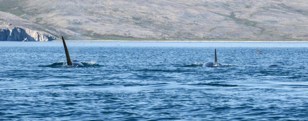 Ein stattliches Orca-Männchen mit Familie unterwegs in der Preobrazheniya-Bucht