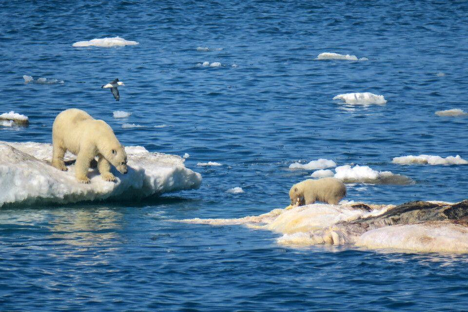 Eisbär-Familie beim Schlemmen am All-you-can-eat-Walkadaver