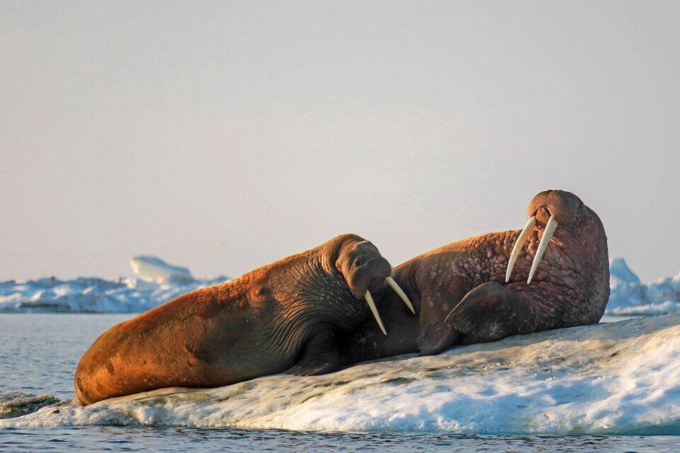 Walrosse ruhen gern auf Eisschollen, wo sie sicher vor Angriffen sind