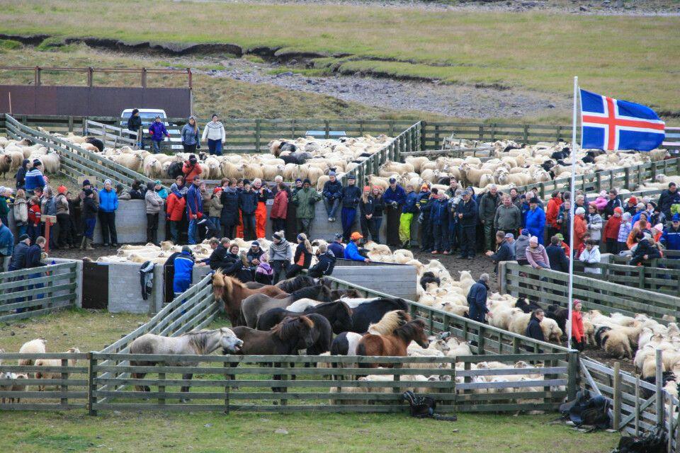 Traditioneller Schafabtrieb – Aussortieren der Schafe am Rétt (Pferch)