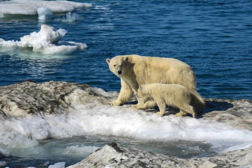 Eisbärenmütter sind ständig auf der Hut