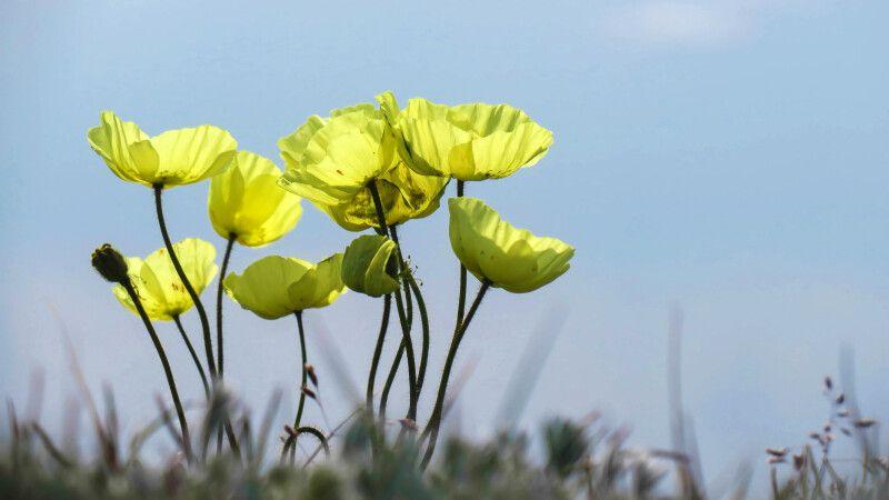Zarte, aber farbenprächtige Mohnblüten © Diamir