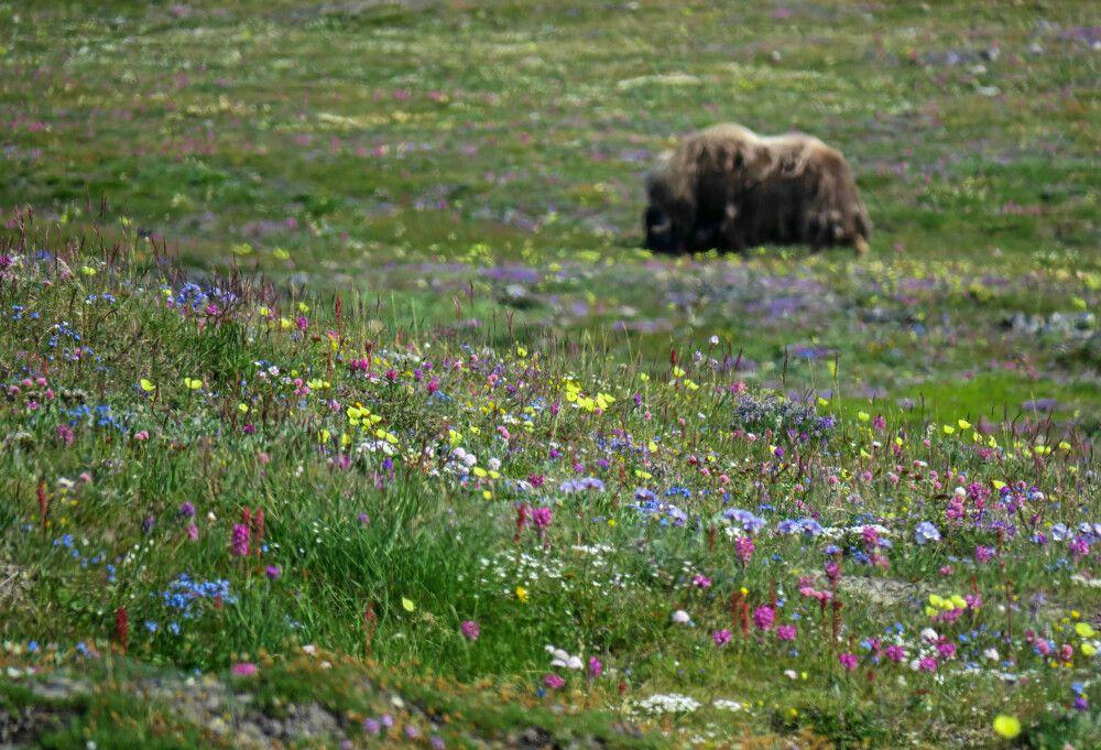 Flower-Power und Moschusochsen auf Wrangel Island