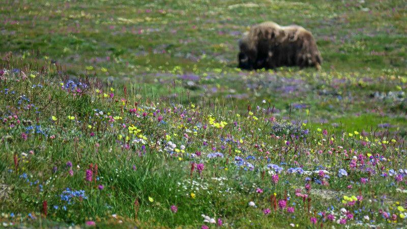 Flower-Power und Moschusochsen auf Wrangel Island © Diamir