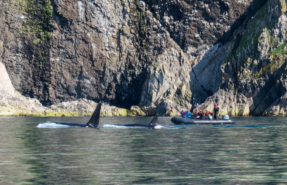 Eine neugierige Orca-Familie