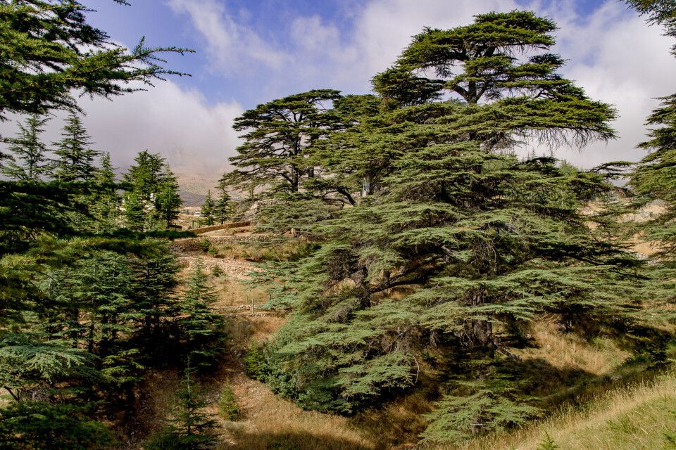 Zedernwald im Libanon