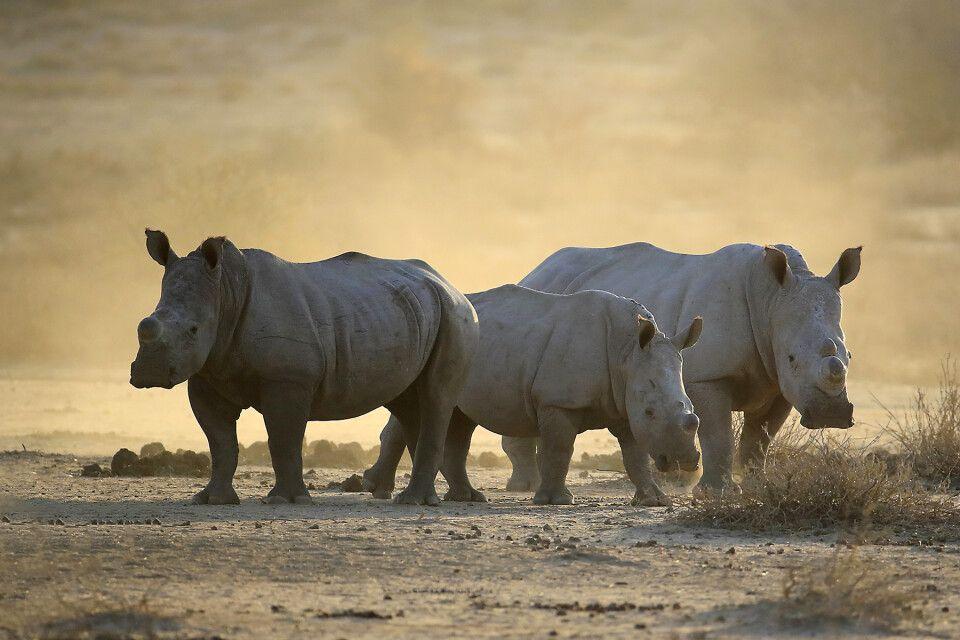 Nashörner im Etosha NP