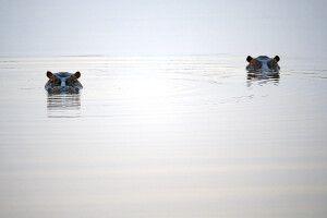 Hippos im Bwabwata-Nationalpark