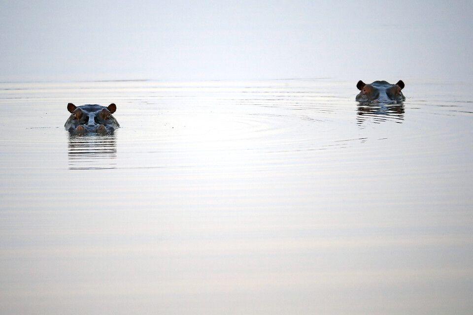 Hippos im Nkasa Rupara NP