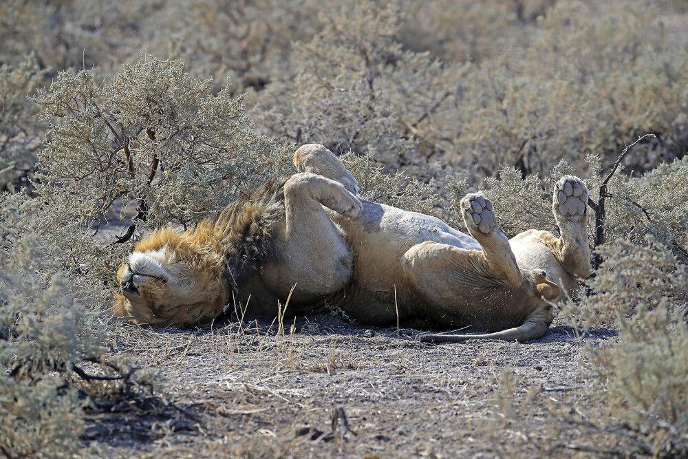 Löwe räkelt sich