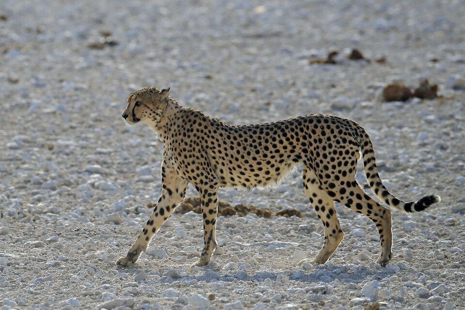 Gepard im Etosha NP