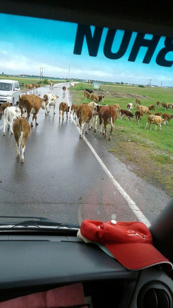 Kühe auf der Strecke
