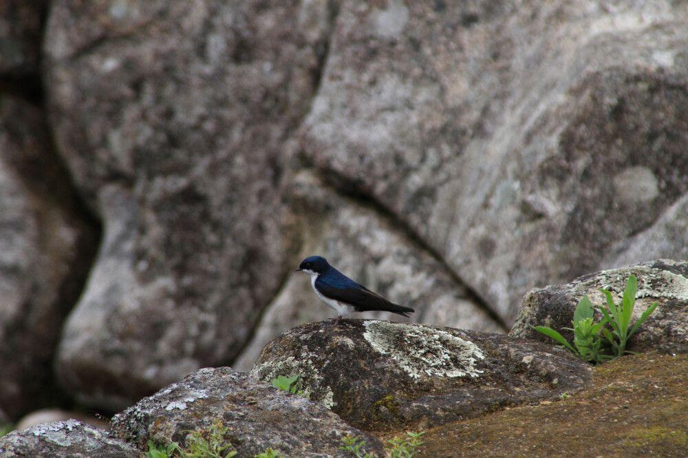 Elstern nisten am Machu Picchu und fliegen tief über die Köpfe der Besucher