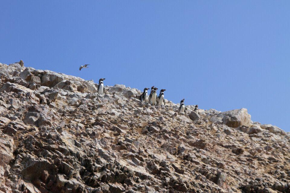 Pinguine, die auf den Islas Ballestas hoch über unseren Köpfen das Gestein entlang watscheln