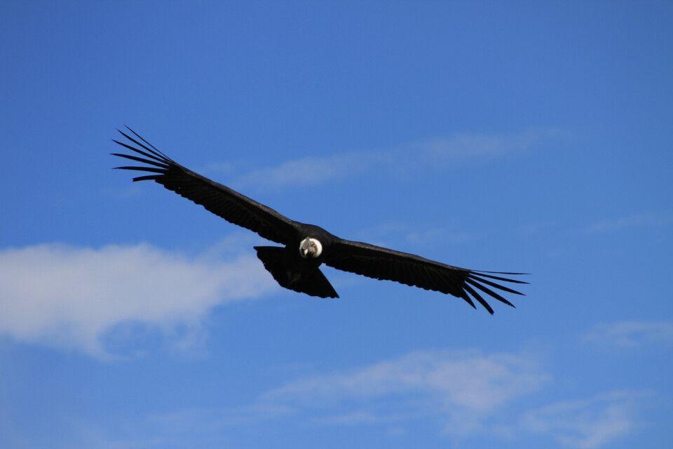 Der Herr der Lüfte - ein ausgewachsender Kondor im Cruz del Condor
