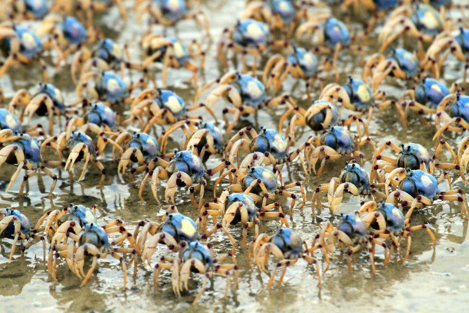 Blue Soldier Crabs auf Fraser Island