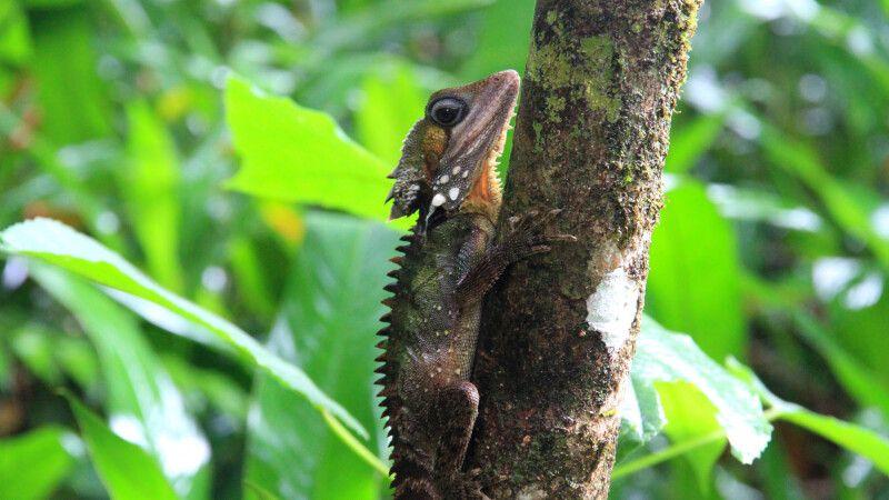 Im Regenwald des Daintree-Nationalparks © Diamir