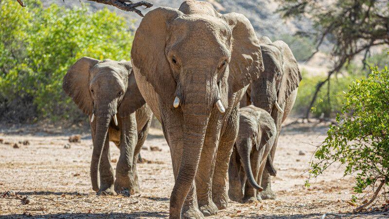 Wüstenelefanten © Diamir