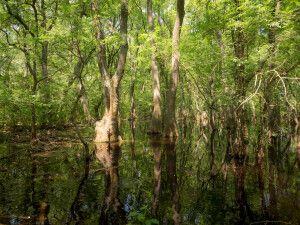 Sumpf im Letea-Wald, Donaudelta - Weltkulturerbe