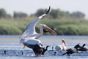 Pelikane im Donaudelta