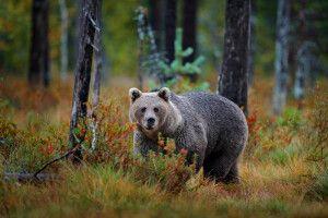 Bär im rumänischen Wald