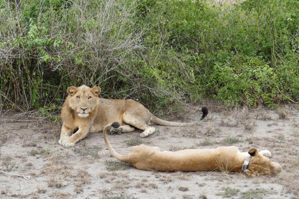Löwen im Ishasha-Sektor