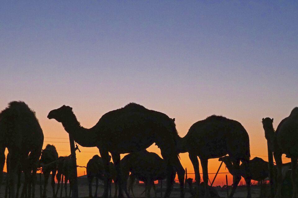 Kamele in der Abenddämmerung