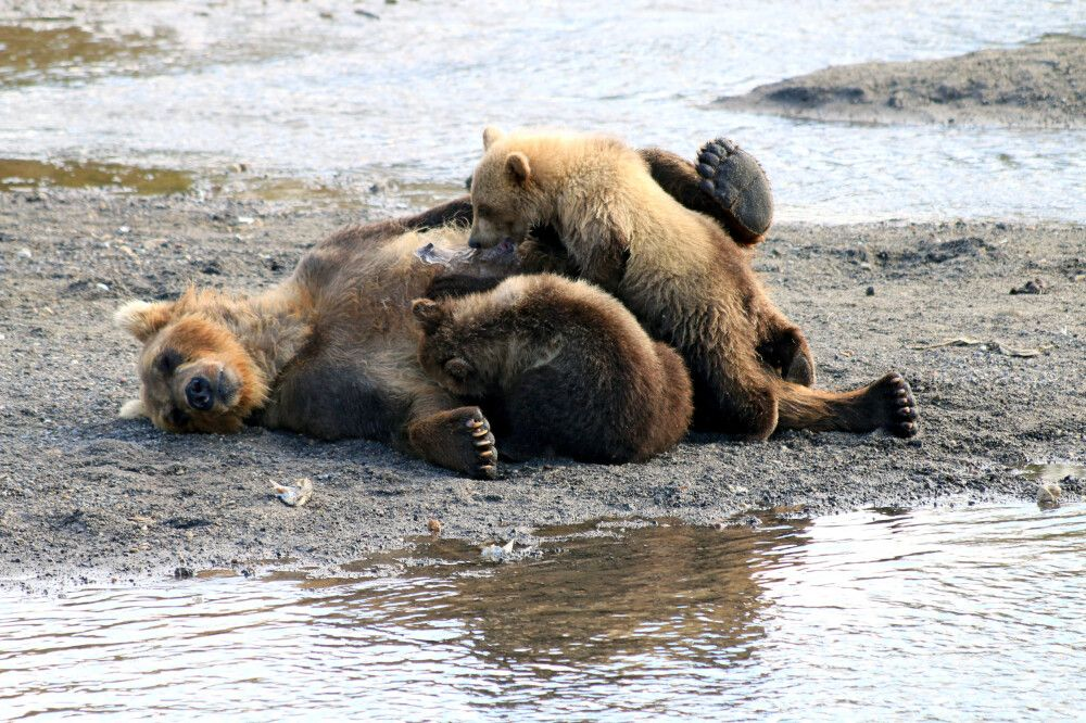Bärenfamilie Südkamtschatka