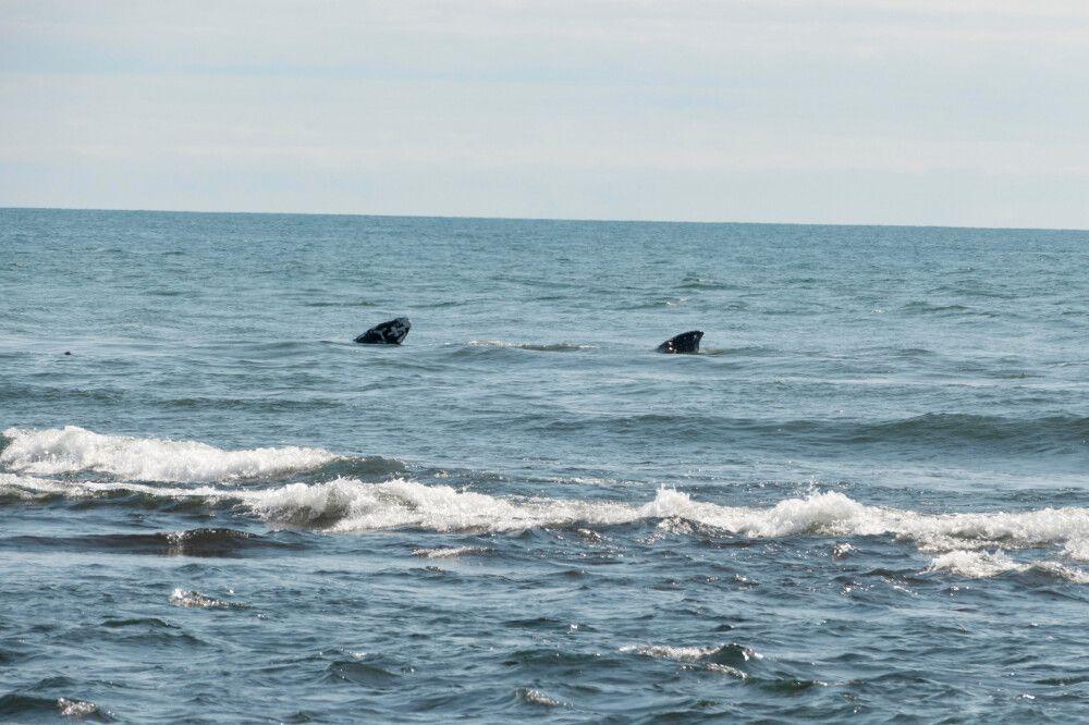 Buckelwale nahe der Küstenlinie zur Beringsee