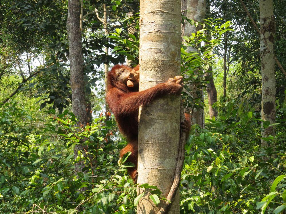 Erfolgreicher Beutezug eines Orang-Utans