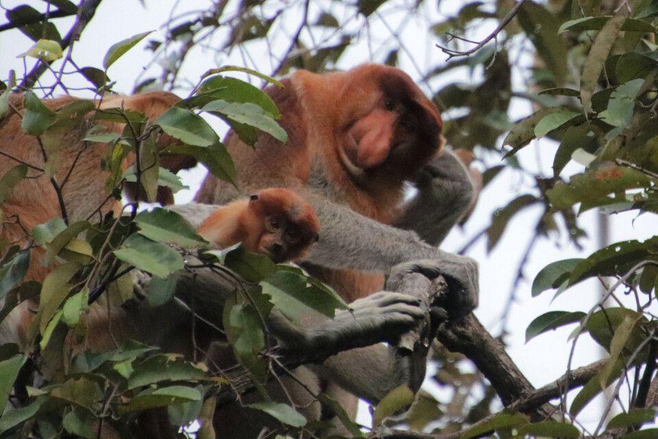 Nasenaffen auf Kalimantan