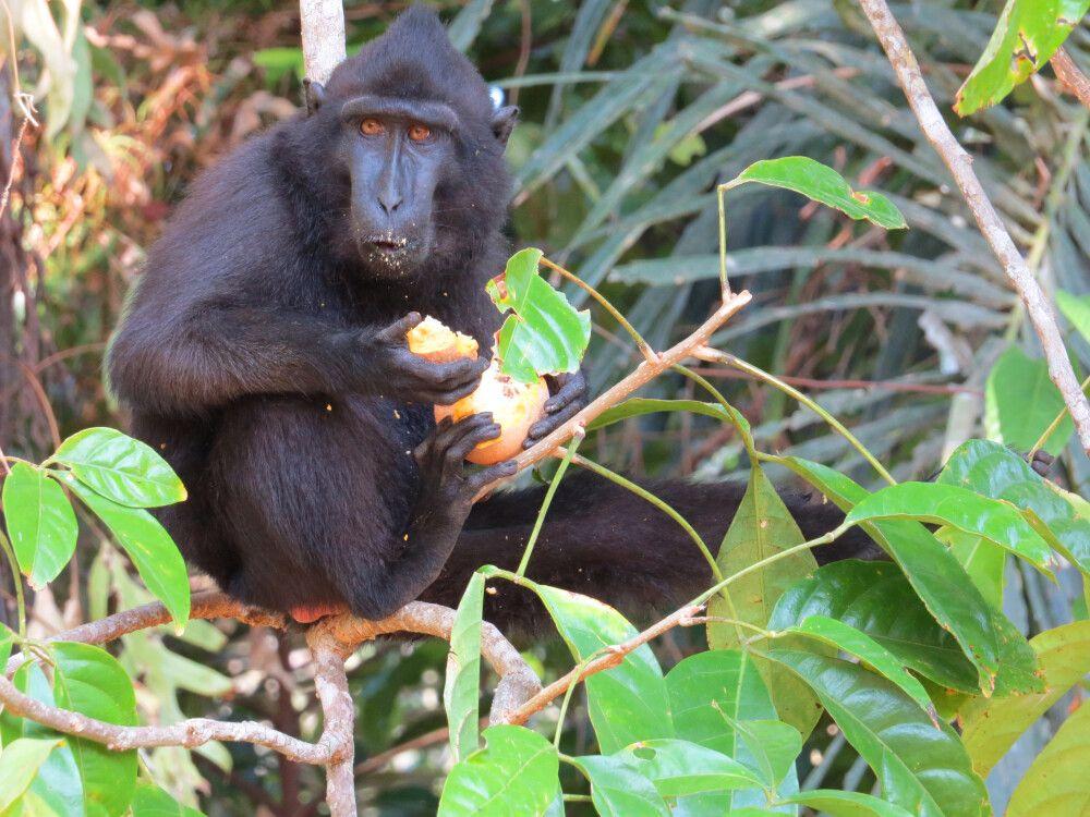 Schopfaffe beim Frühstück im Tangkoko Nationalpark
