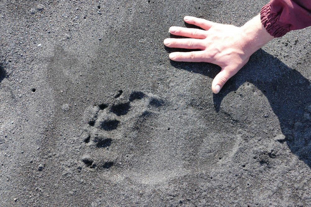 Bärenspuren am Strand der Beringsee