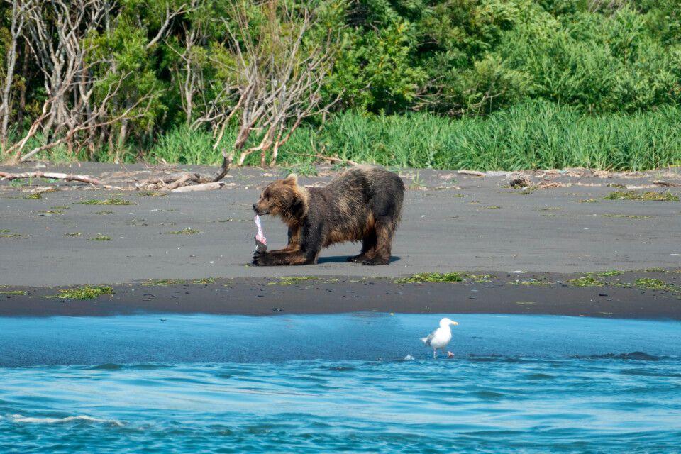 Ein Kamtschatka-Braunbär lässt es sich schmecken