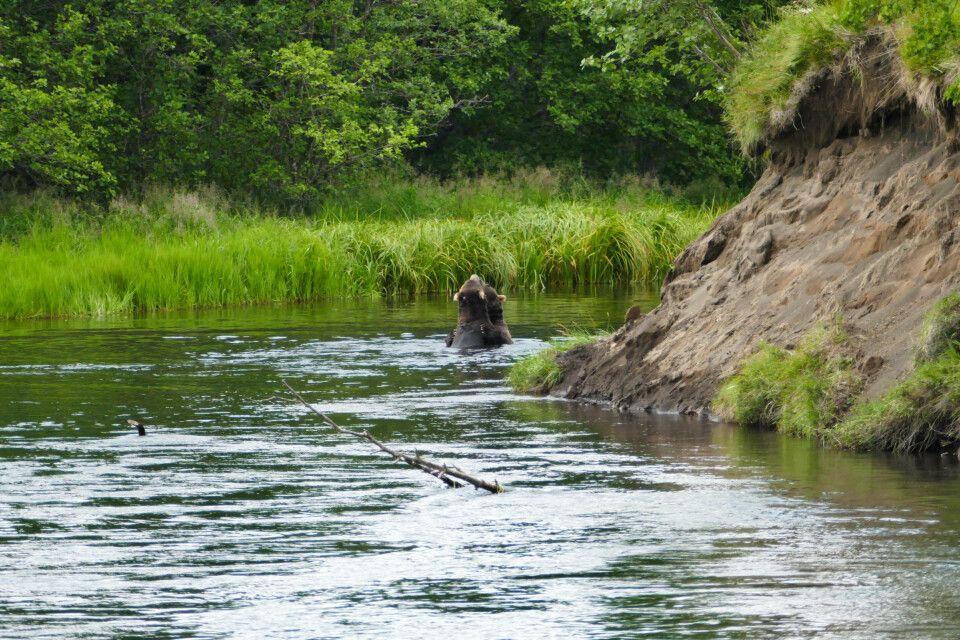 """Verspieltes Bärenpaar im Wasser der """"Kronotskaya"""""""