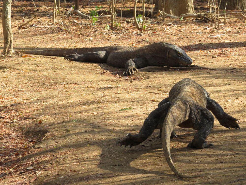 Gigantische Weggefährten – Komodowarane