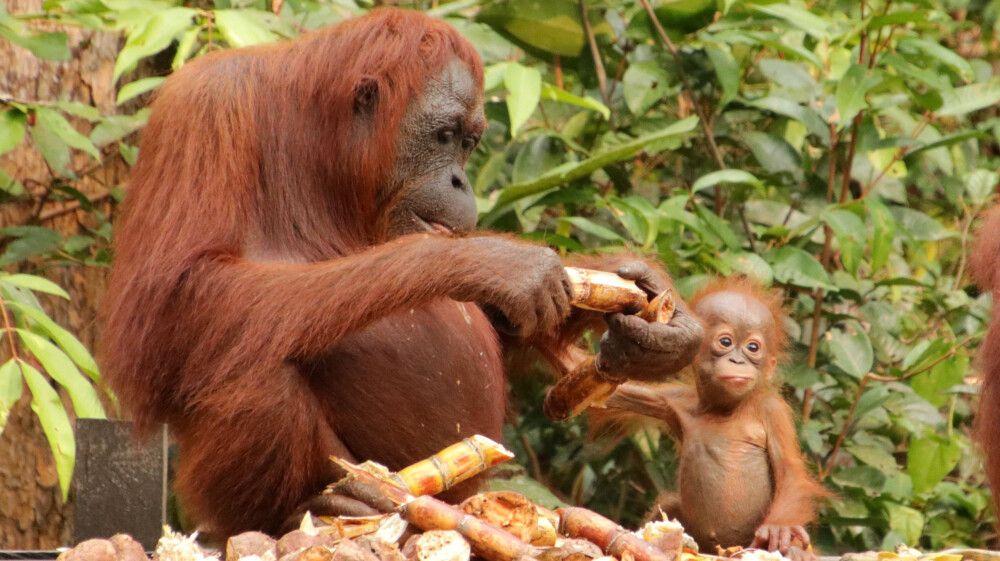 Orang-Utan-Mutter mit ihrem Jungen an der Futterstelle