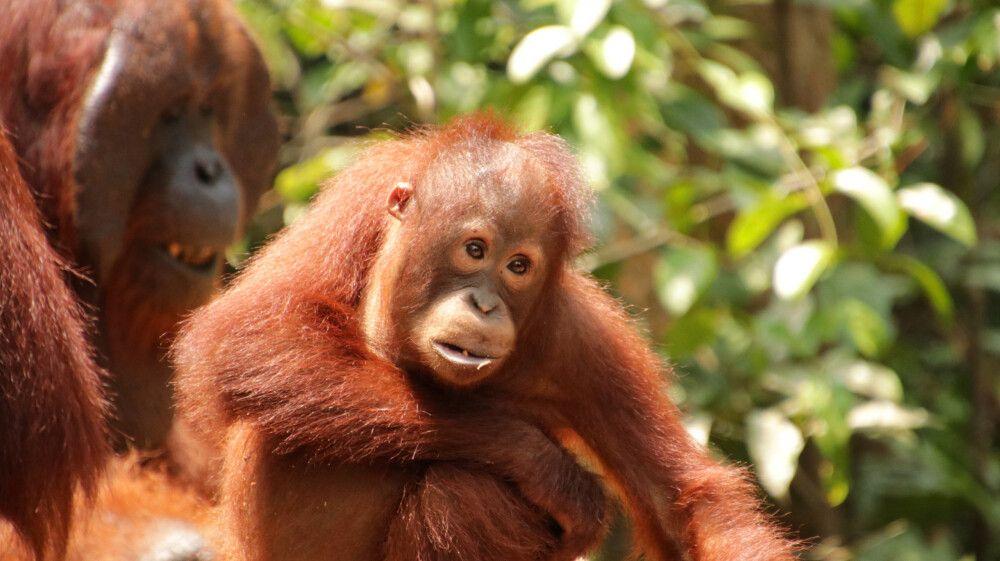 Orang-Utan-Junges im Tanjung-Puting-Nationalpark