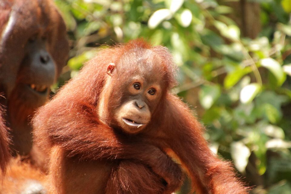 Orang-Utan-Junges im Tanjung-Puting-Nationalpark