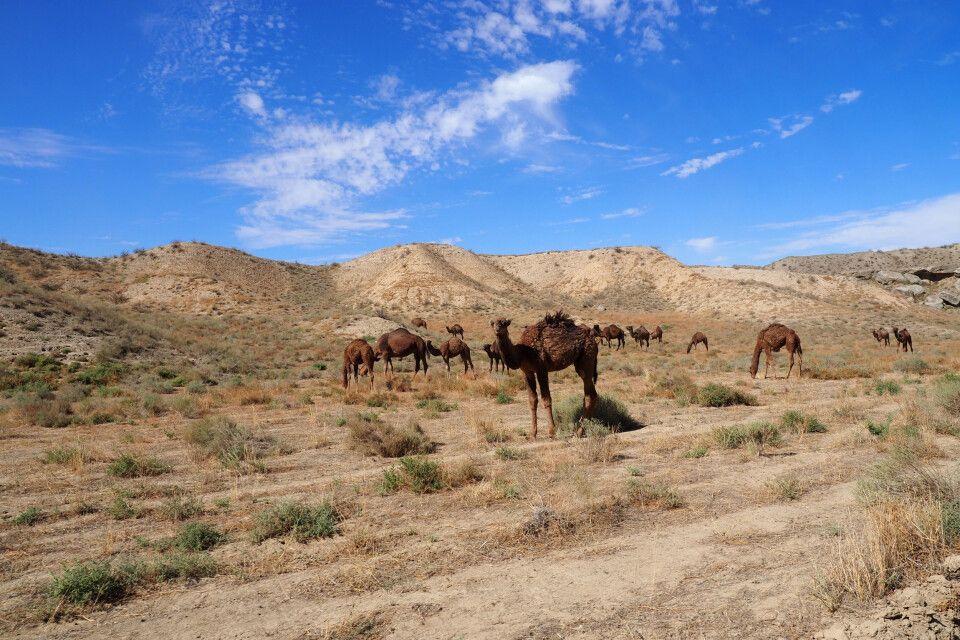 Kamele in der Wüste bei Dekhistan
