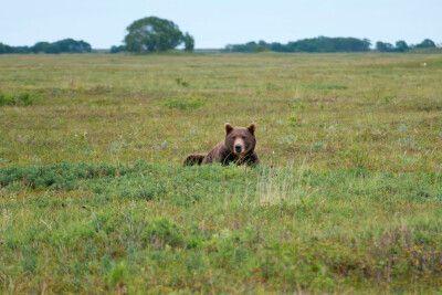 Ruhender Kamtschatka-Braunbär vor dem Lagereingang