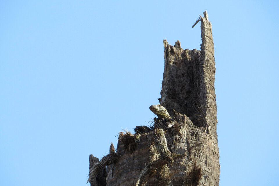 Waranenbaby im Baumnest