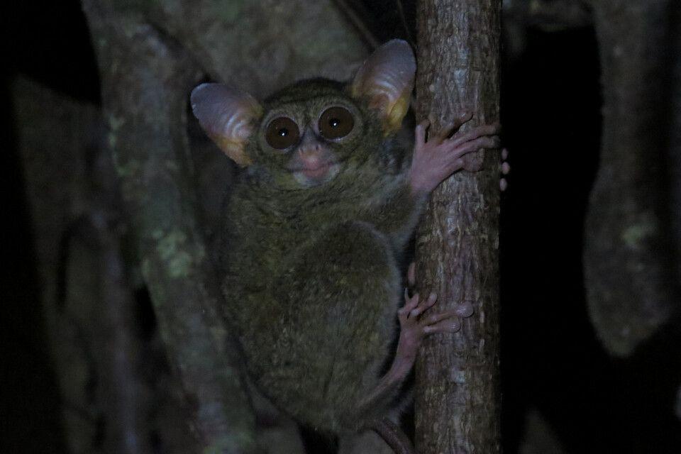 Koboldmaki bei der Nachtwanderung im Tangkoko Nationalpark