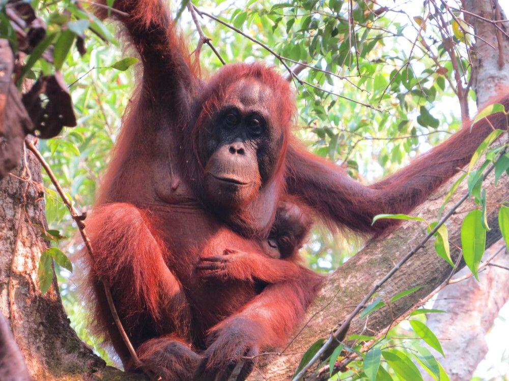 Orang-Utan Mutter mit ihrem Kind