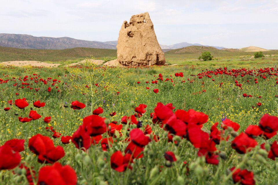Mohnfeld im Golestan Nationalpark