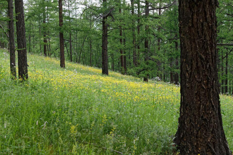 Sattes Grün in den Bergwäldern oberhalb des Orchon-Tales