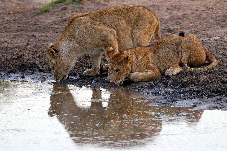 Tag 5 Zwei junge Löwen trinken abends am Wasserloch