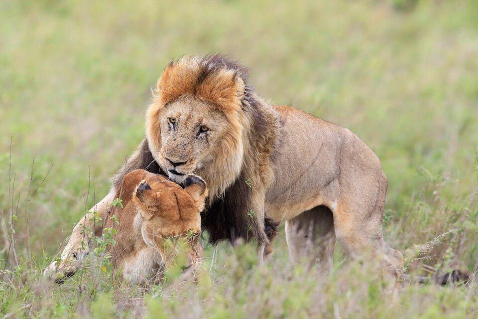 Tag 1 Löwenpaar beim Liebesspiel