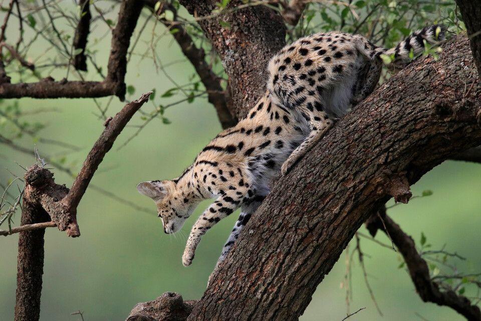 Tag 2 Serval Katze auf einem Baum