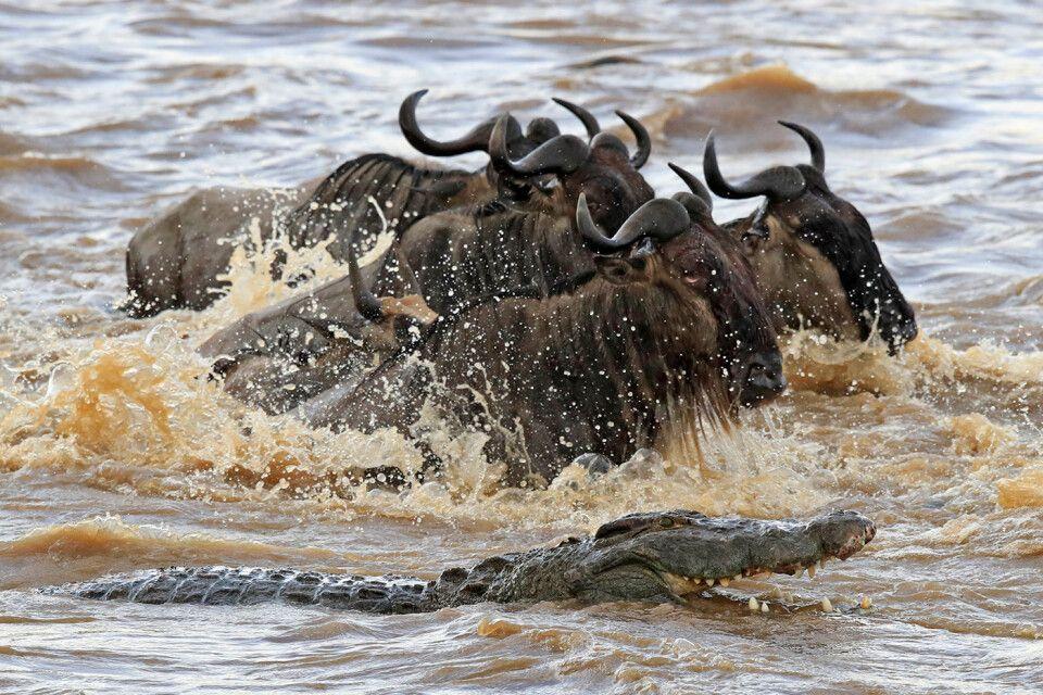 Tag 6  Gnus durchqueren den Mara Fluss